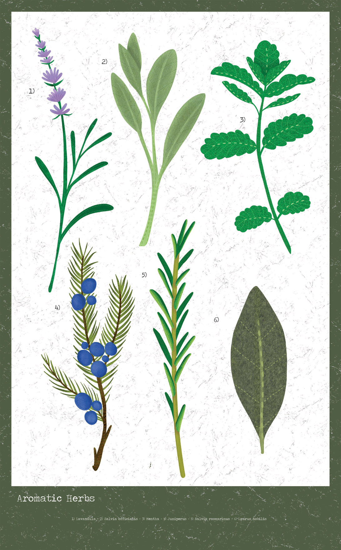 poster of aromatic herb  illustrations