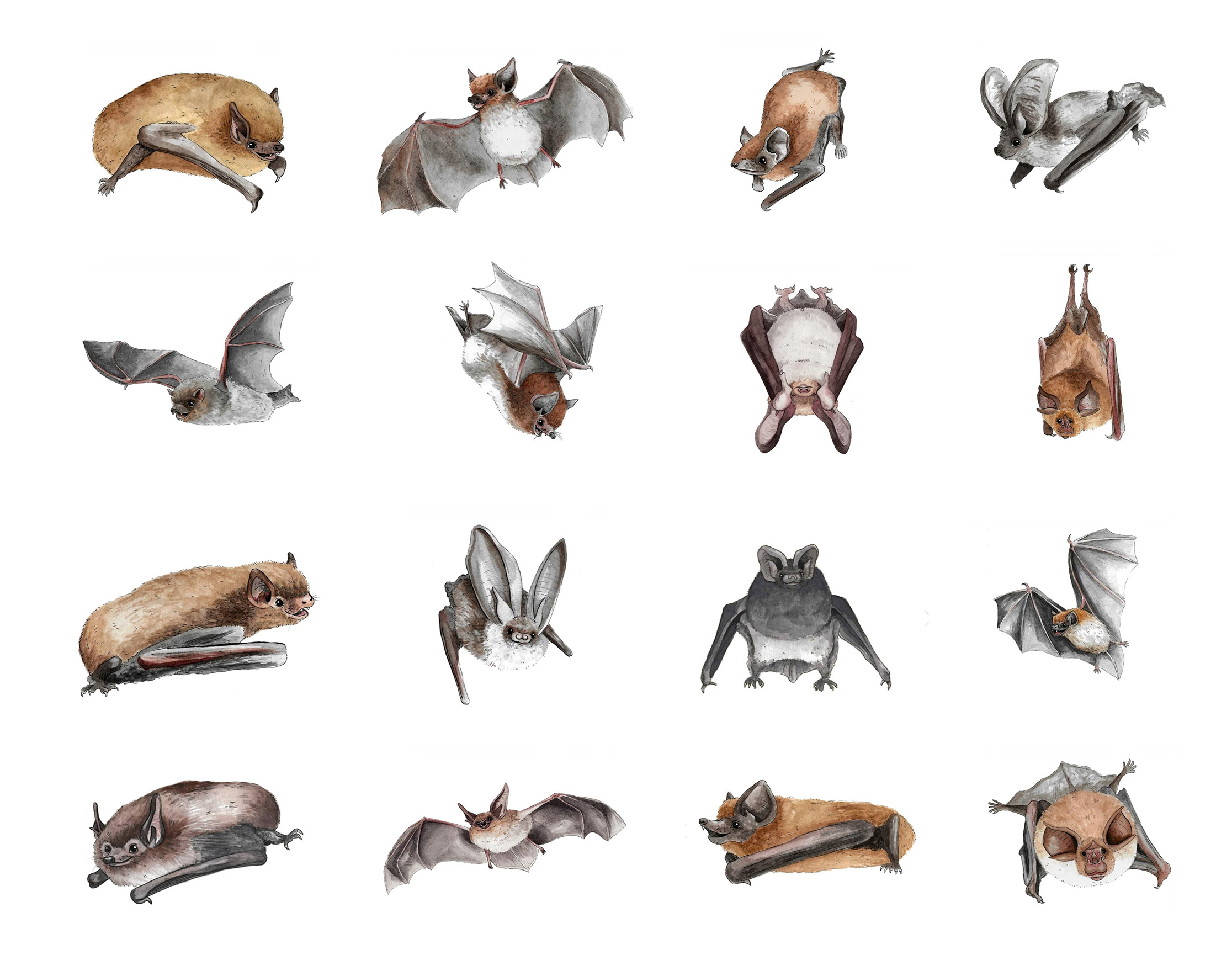 illustrations of sixteen bats
