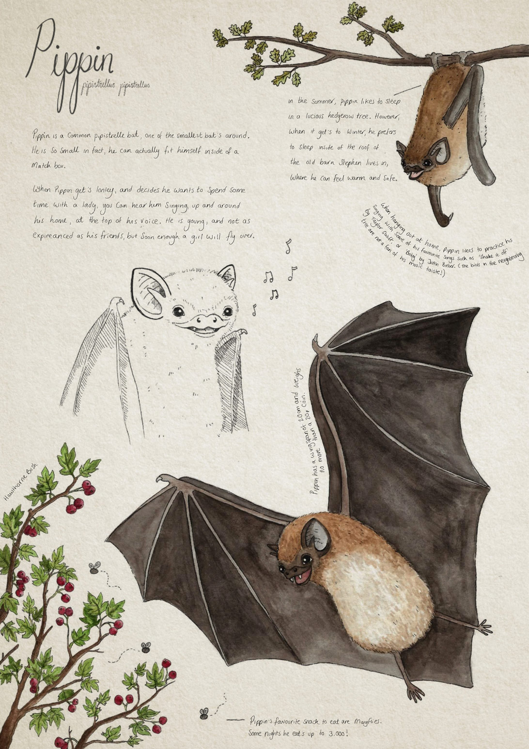 illustration and handwritten text information about the Pippin bat